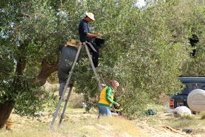 The traditional olive harvest campaign in Tunisia
