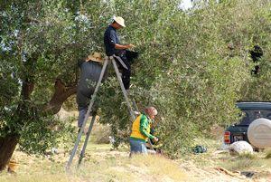 La traditionnelle campagne de cueillette des olives – 11/2011
